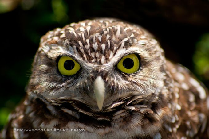Owl in Central Park by SandyPictures - Beautiful Owls Photo Contest