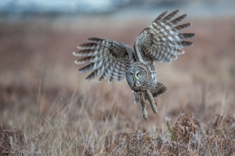 A Great Gray Owl hopping off from the hunting ground after its first failed attempt to grab for a...