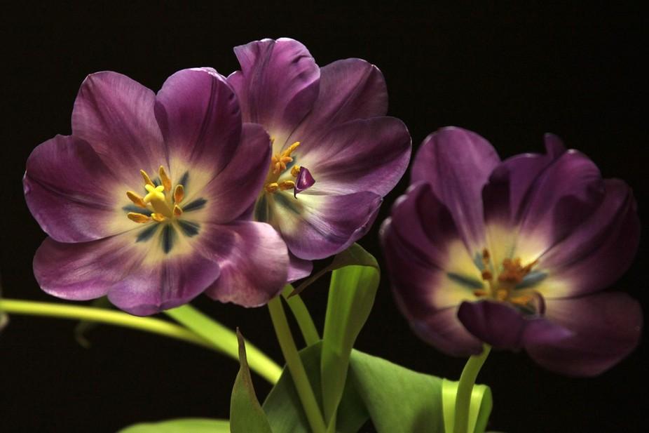 Tulips under fluorescent lighting