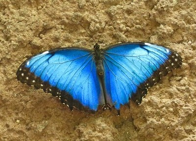 Morpho Butterfly on Mud Wall