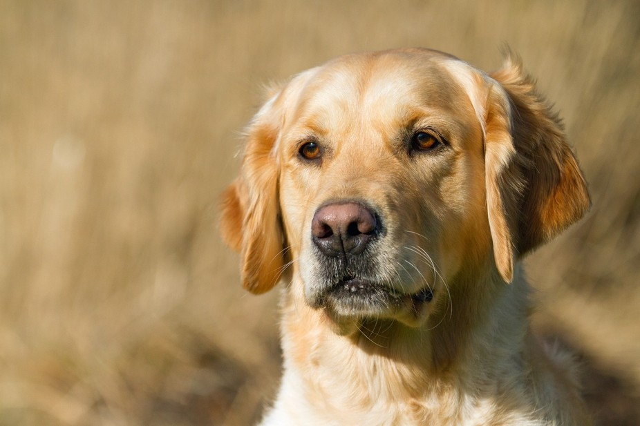 I just love Goldens, they have a way of creeping into your heart and never leave. She's ...
