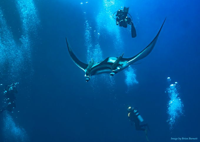 Diving Giant Pacific Mantas by Spider1987 - A World Of Blue Photo Contest