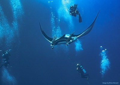 Diving Giant Pacific Mantas
