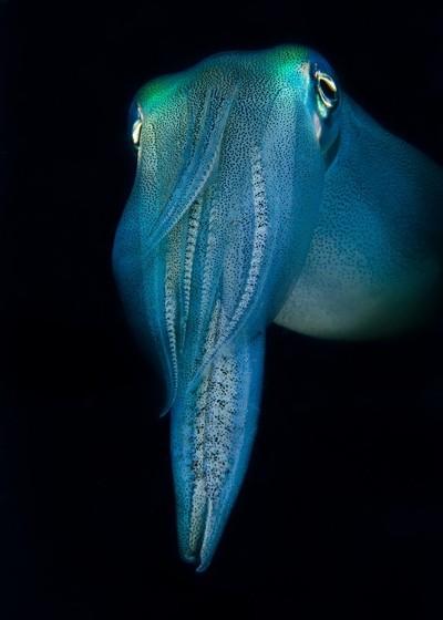Suspicious Squid