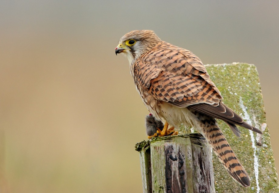 this female kestrel eat the mouse in front of me.  i take a viuw pictures