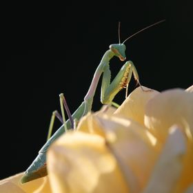 Macro capture of praying mantis on a yellow rose.