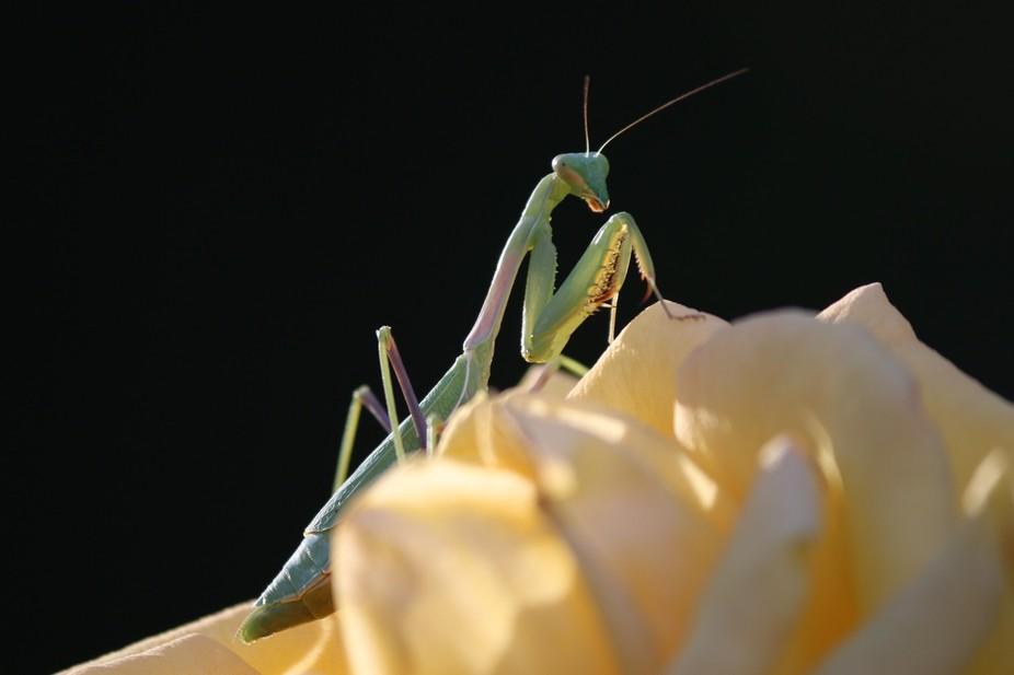 Macro capture of praying mantis on a yellow rose.