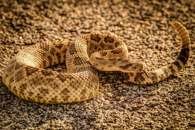 Rattler by JeffSiege - Snakes Photo Contest