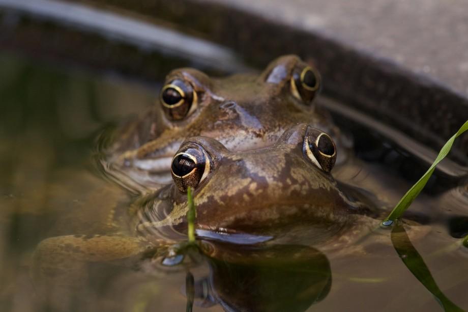Frog copulation