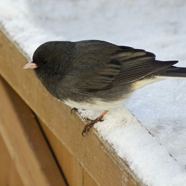 A junco on a snowy wooden planter box.
