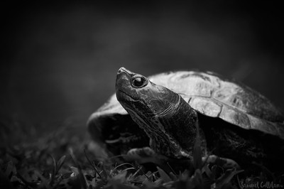 A Distinguished Turtle