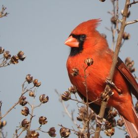 Male Cardinal looking for sunflower seeds