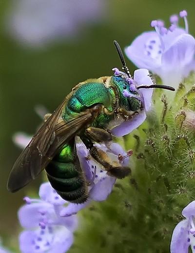 Metallic Green Bee 2