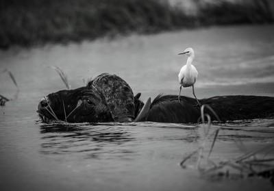 Cattle egret on buffalo