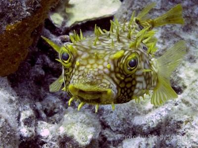 Burrfish