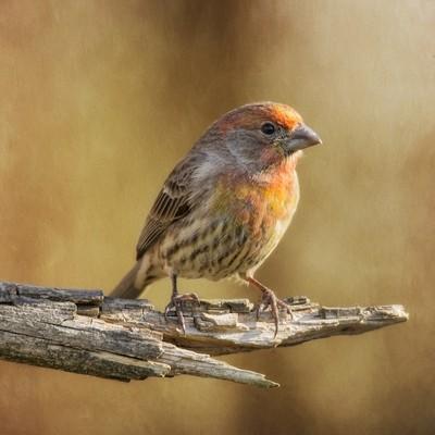 Juvenile Finch