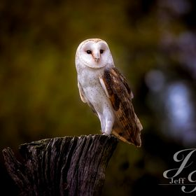 Image captured of Barn owl on perch at Raptor Center