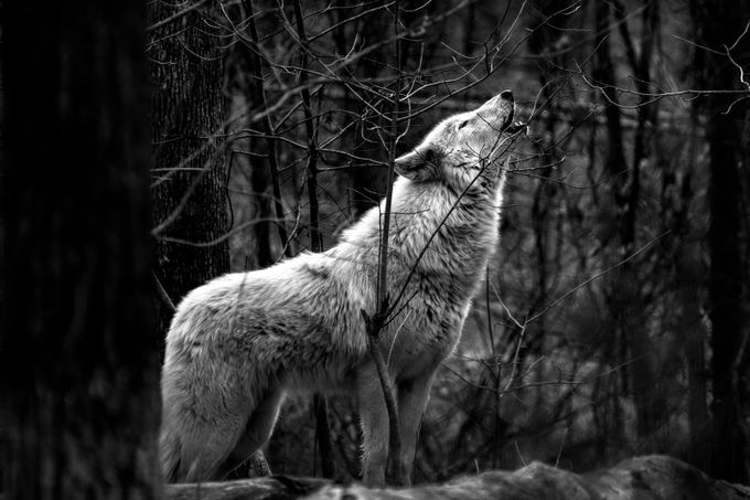 Howling Wolf B & W by jreid13 - Wolves Photo Contest