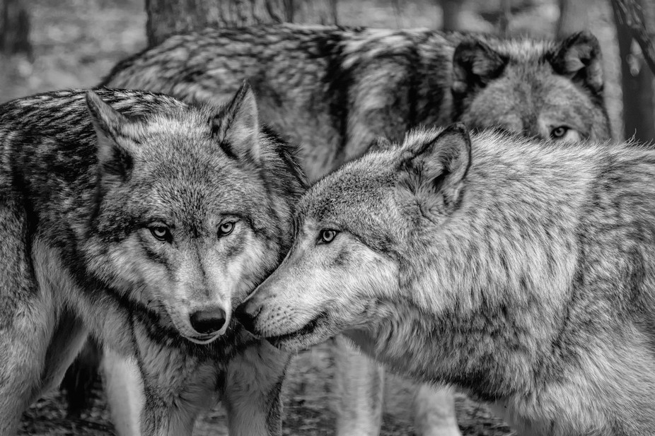 Photo Excursion to Lakota Wolf Preserve in New Jersey.  Yes we have wolves in New Jersey.