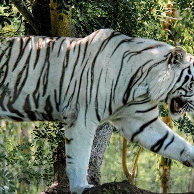 Tiger 3 -