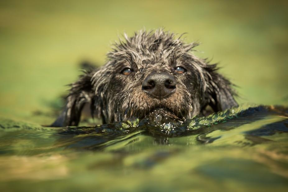Sheppoodle Swimming