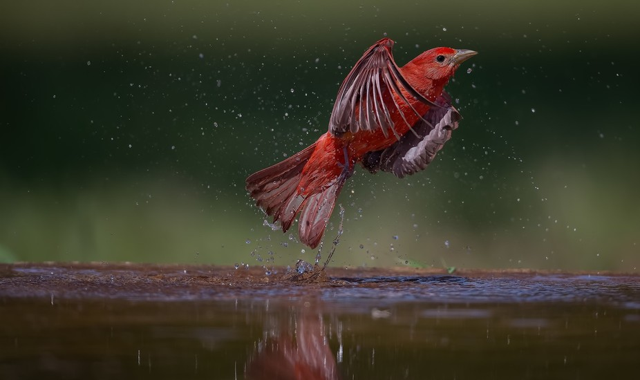 Summer Tanager Male lifting off from our watering hole in New Braunfels, Texas.