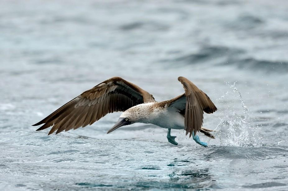 Blue footed booby....Galapogos Jun 2012 0067772012