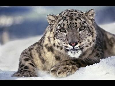 05_CE298_SnowLeopard