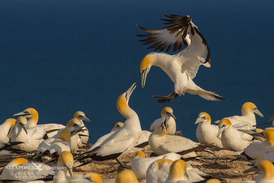 An australasian gannet returns to its partner and nest.