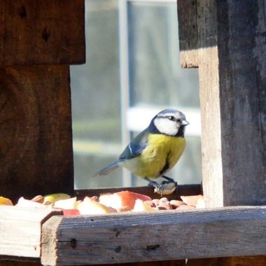 Blue Tit visiting the bird table.