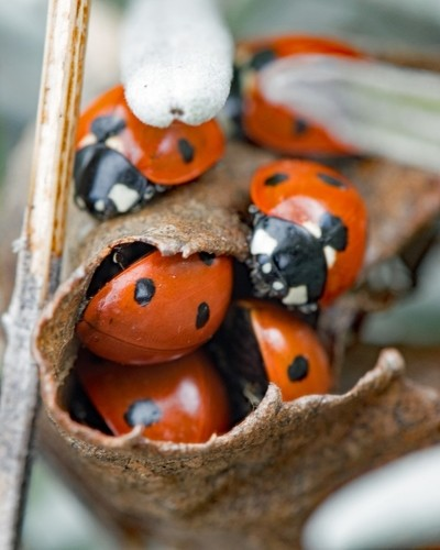A lovliness of Ladybirds. Waking after their winter huddle.
