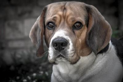 Beagle Amigo
