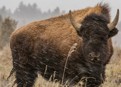 Great American Bison 8_