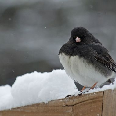 A junco sitting on a snow covered wooden fence.