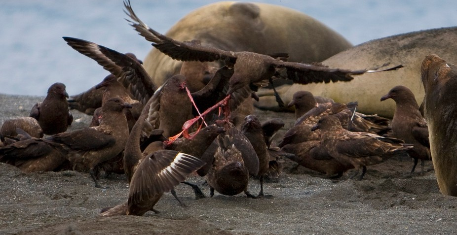 They make quick work cleaning up after birth of elephant seal Nothing wasted here