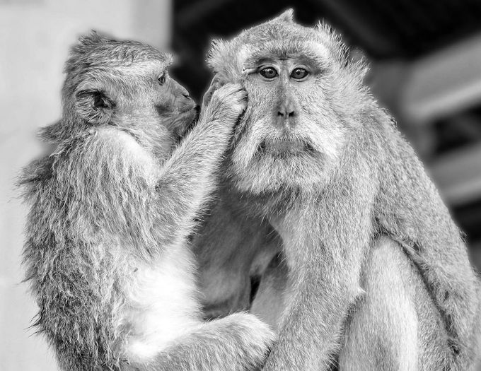 monkey face BW by ScottELB - Monkeys And Apes Photo Contest