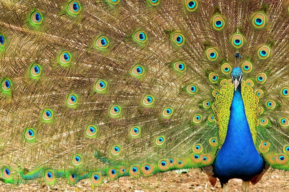 Beautiful male peacock