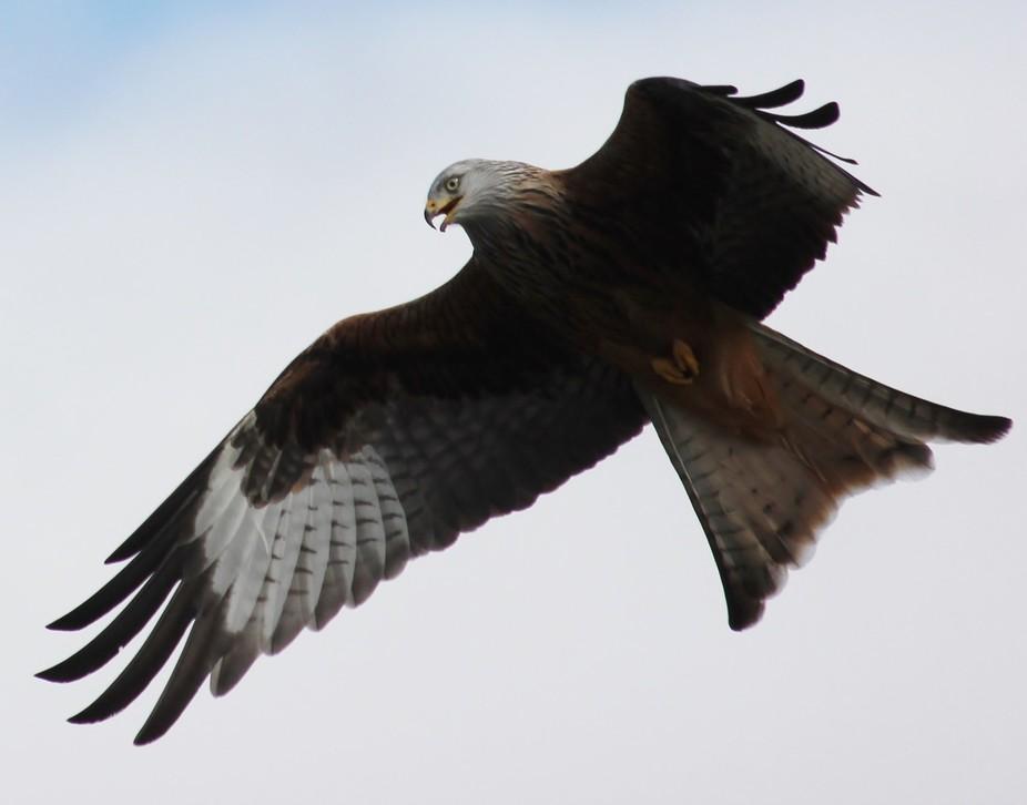 One of many shots from a kite feeding station @ Rhayader,