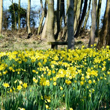 Daffodils growing in the woods.