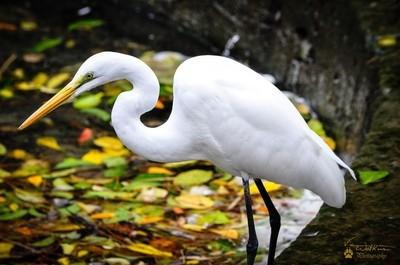 Great White Egret_Mod