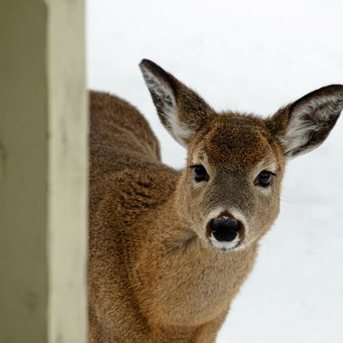A deer peering around a fence post.