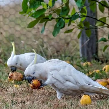 Cockatoos - Two Of  A Kind