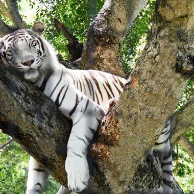 Sshhh....Tiger Sleeping