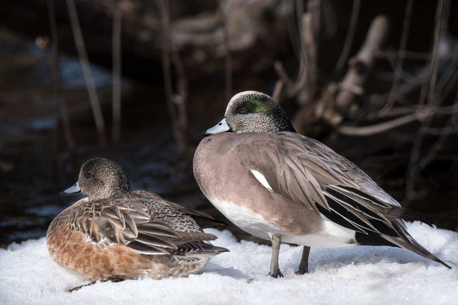 Wigeons at Mud Lake Ottawa, ON
