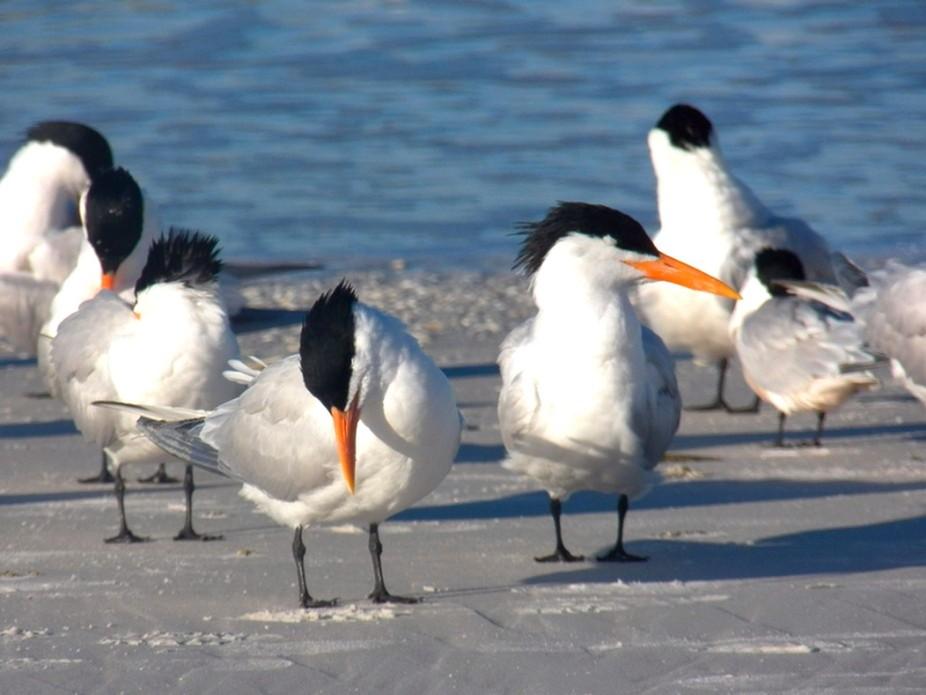 Terns at beach copy