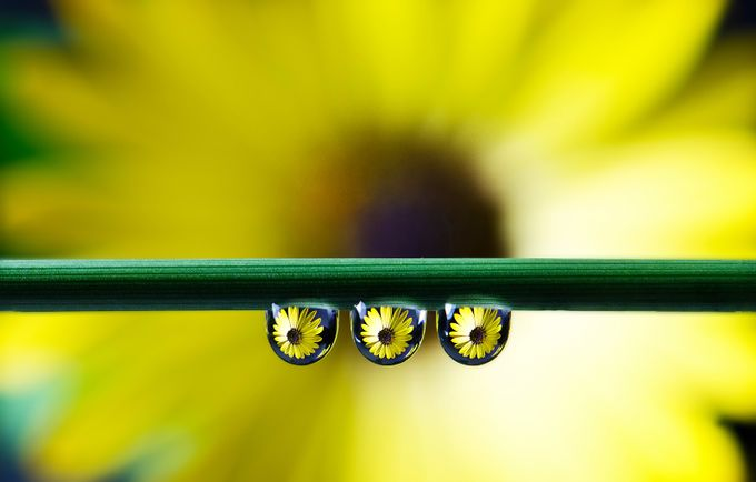 Yellow flower drops... by palma - Macro Water Drops Photo Contest