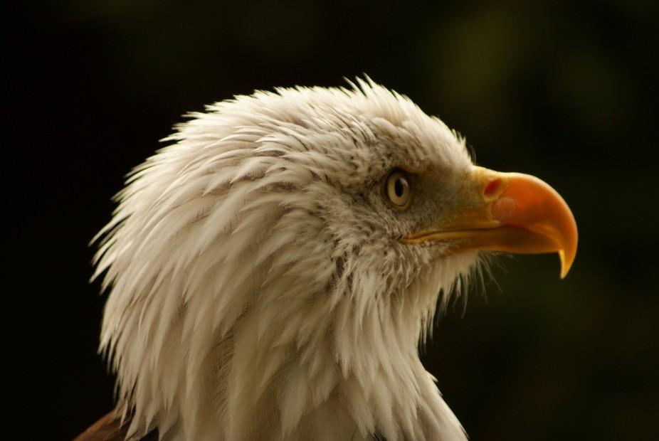 09 Sep 2009 A_B_Eagle (1)