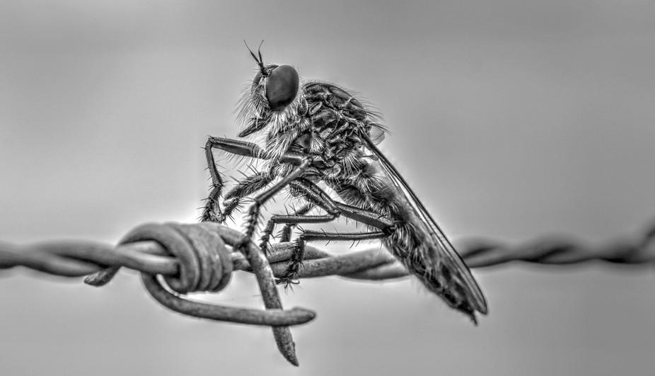 Robber Fly  3 in Black & White