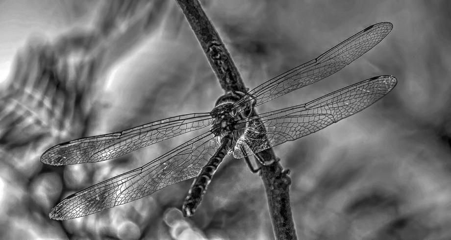 Dragon Fly 3 in Black & White