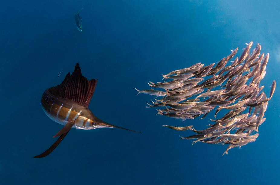 Sailfish hunting sardines off the coast of Mexico